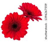 two   red gerbera flower heads... | Shutterstock . vector #1396267559