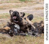 two african wild dogs playing ... | Shutterstock . vector #1396317203
