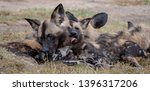 pack of rare african wild dogs  ... | Shutterstock . vector #1396317206