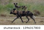 pair of rare african wild dogs  ... | Shutterstock . vector #1396317803
