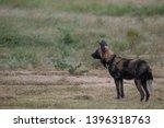 rare african wild dog  seen... | Shutterstock . vector #1396318763