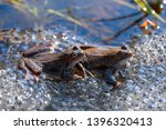 Two Common Frogs  Rana...