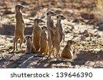 Stock photo suricate family standing near nest in sun looking for danger 139646390