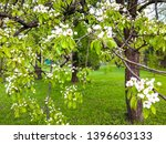 bird cherry tree flowers in... | Shutterstock . vector #1396603133