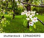 Stock photo bird cherry blossoms flowers in spring spring blossom flowers of bird cherry tree spring bird 1396604093
