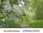 Common Hawthorn Branch With...