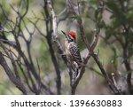 Ladder Backed Woodpecker  Male  ...