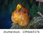A Plump Golden Chinese Pheasant ...