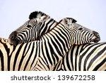 zebra   zebra's in love ... | Shutterstock . vector #139672258