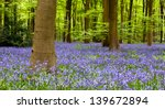 carpet of bluebells in beech...