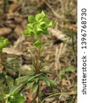 flowers of cypress spurge ... | Shutterstock . vector #1396768730