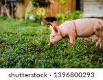 newborn piglet on green grass... | Shutterstock . vector #1396800293