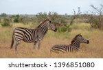zebras photographed at kruger... | Shutterstock . vector #1396851080