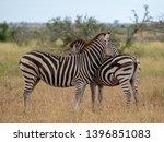 zebras photographed at kruger... | Shutterstock . vector #1396851083