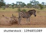 zebras photographed at kruger... | Shutterstock . vector #1396851089
