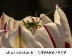 A Small Grasshopper On A Flowe...