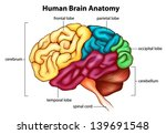 An Illustration Of The Human...