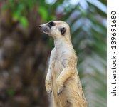 meerkat | Shutterstock . vector #139691680