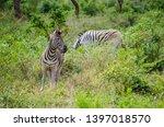 african zebra wildlife south... | Shutterstock . vector #1397018570