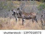 african zebra wildlife south... | Shutterstock . vector #1397018573
