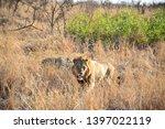 african lion wildlife south... | Shutterstock . vector #1397022119