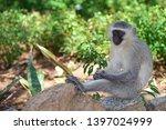 african vervet monkey wildlife... | Shutterstock . vector #1397024999