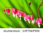 garden flower   lamprocapnos... | Shutterstock . vector #1397069900
