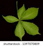 leaf from horse chestnut tree   ... | Shutterstock . vector #1397070809