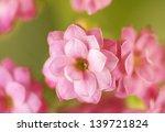 Blooming Kalanchoe Flower....