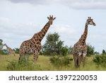 giraffes in the bush ... | Shutterstock . vector #1397220053