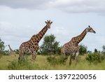 giraffes in the bush ... | Shutterstock . vector #1397220056