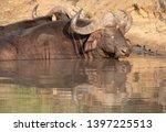 african buffalo basking in the... | Shutterstock . vector #1397225513