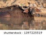 african buffalo basking in the... | Shutterstock . vector #1397225519