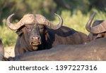 african buffalo  photographed... | Shutterstock . vector #1397227316
