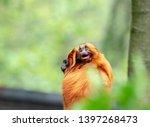 Affen Im Primaten Zoo Apenheul