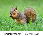 Young Eastern Fox Squirrel ...