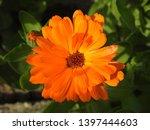 beautiful orange gerbera daisy... | Shutterstock . vector #1397444603