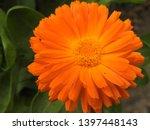 beautiful orange gerbera daisy... | Shutterstock . vector #1397448143