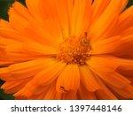 beautiful orange gerbera daisy... | Shutterstock . vector #1397448146