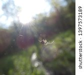 Tiny baby orchard orb weaver spider.