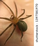 Small photo of Holding brown recluse spider Loxosceles laeta