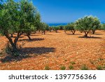 field of olive trees on stony... | Shutterstock . vector #1397756366
