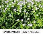 veronica filiformis. perennial... | Shutterstock . vector #1397780663