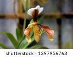paphiopedilum villosum  orchid... | Shutterstock . vector #1397956763