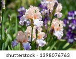 Colorful Irises In The Garden ...