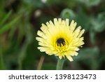 smooth golden fleece... | Shutterstock . vector #1398123473