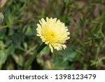 smooth golden fleece... | Shutterstock . vector #1398123479