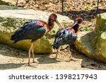Couple of glossy ibises...