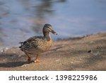 Female Mallard Duck On The Ban...