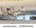 Herd Of Springbok  Springbuck ...